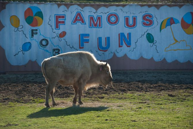 The rare white buffalo, Lone Star, is being leased from a South Texas ranch.