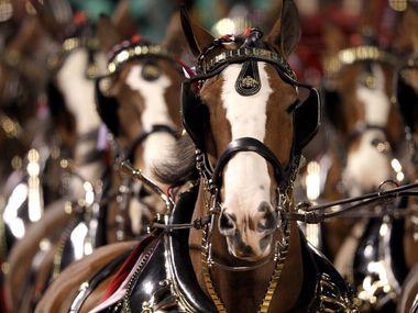 Los icónicos caballos Clydesdales de Budweiser no estarán presentes en los comerciales de televisión del Super Bowl LV.