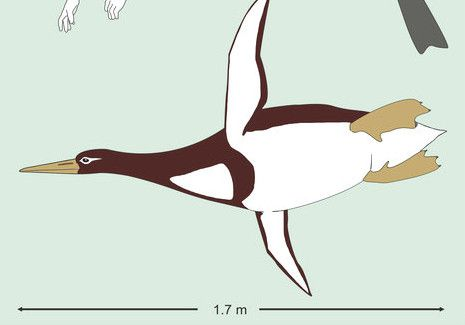 Reconstrucción artistica del pingüino gigante /Senckenberg Research Institute Copyright holder email address: Gerald.Mayr@senckenberg.de