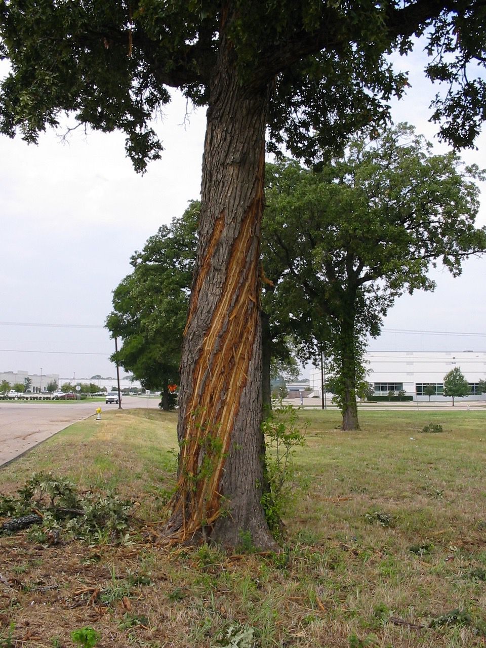 Trees can be struck by lightning and need time to heal.