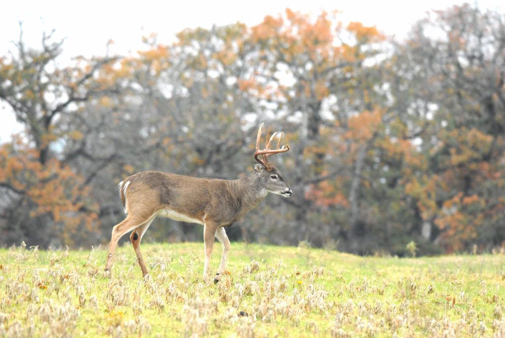 White-tailed deer are the most sought-after Texas game animals. They re also the most common big game animals with an estimated statewide population of 3.8 million whitetails. 10052014xSPORTS