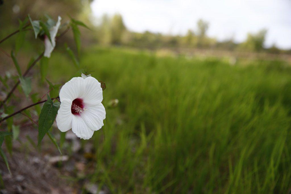 A flower at the Trinity River Audubon Center