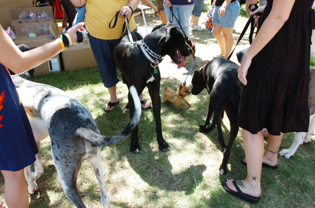 A Chihuahua investigated a group of Great Danes at the 2011 Dog Days of Denton.