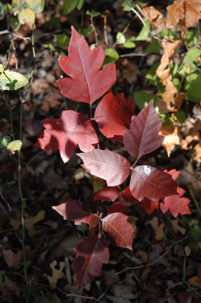 Poison ivy takes on a reddish hue in the fall.