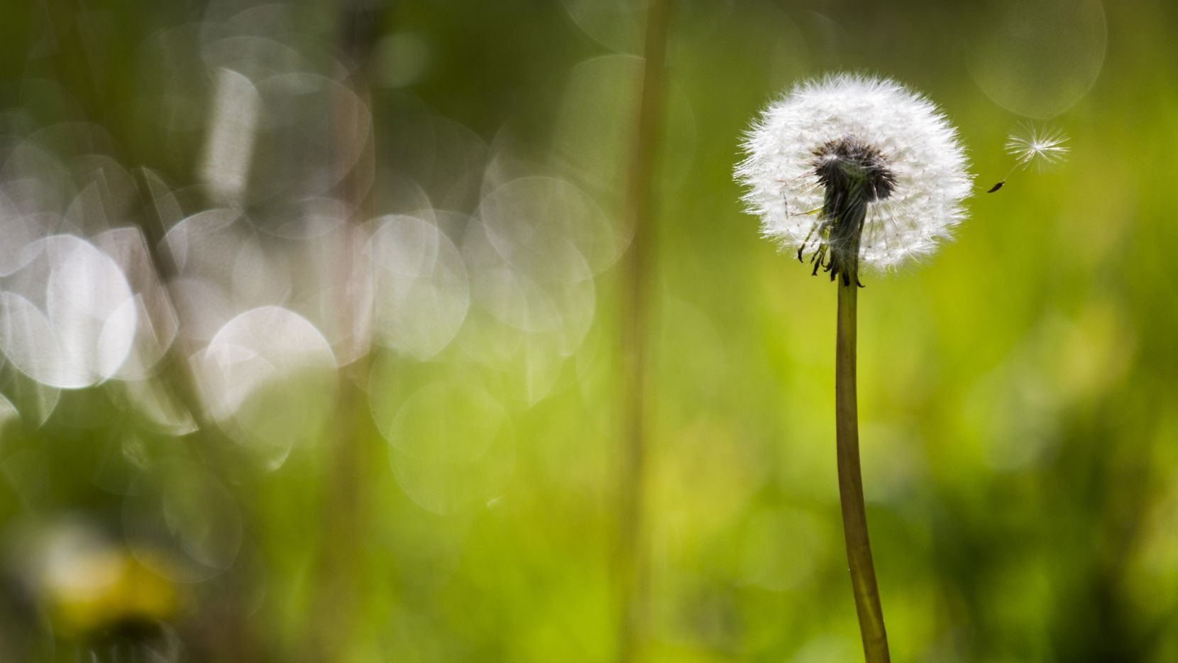 A dandelion seed alights on the wind on Sunday, March 18, 2018 at Reverchon Park in Dallas.