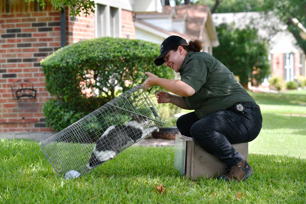 Megan Paliwoda, an animal services officer with the city of Mesquite, prepares to release a feral tabby cat after it was captured more than once in a Mesquite neighborhood. The Mesquite Animal Shelter has a program to pick up feral cats, spay and neuter them and give them for free to families who need cats for barns and farms.