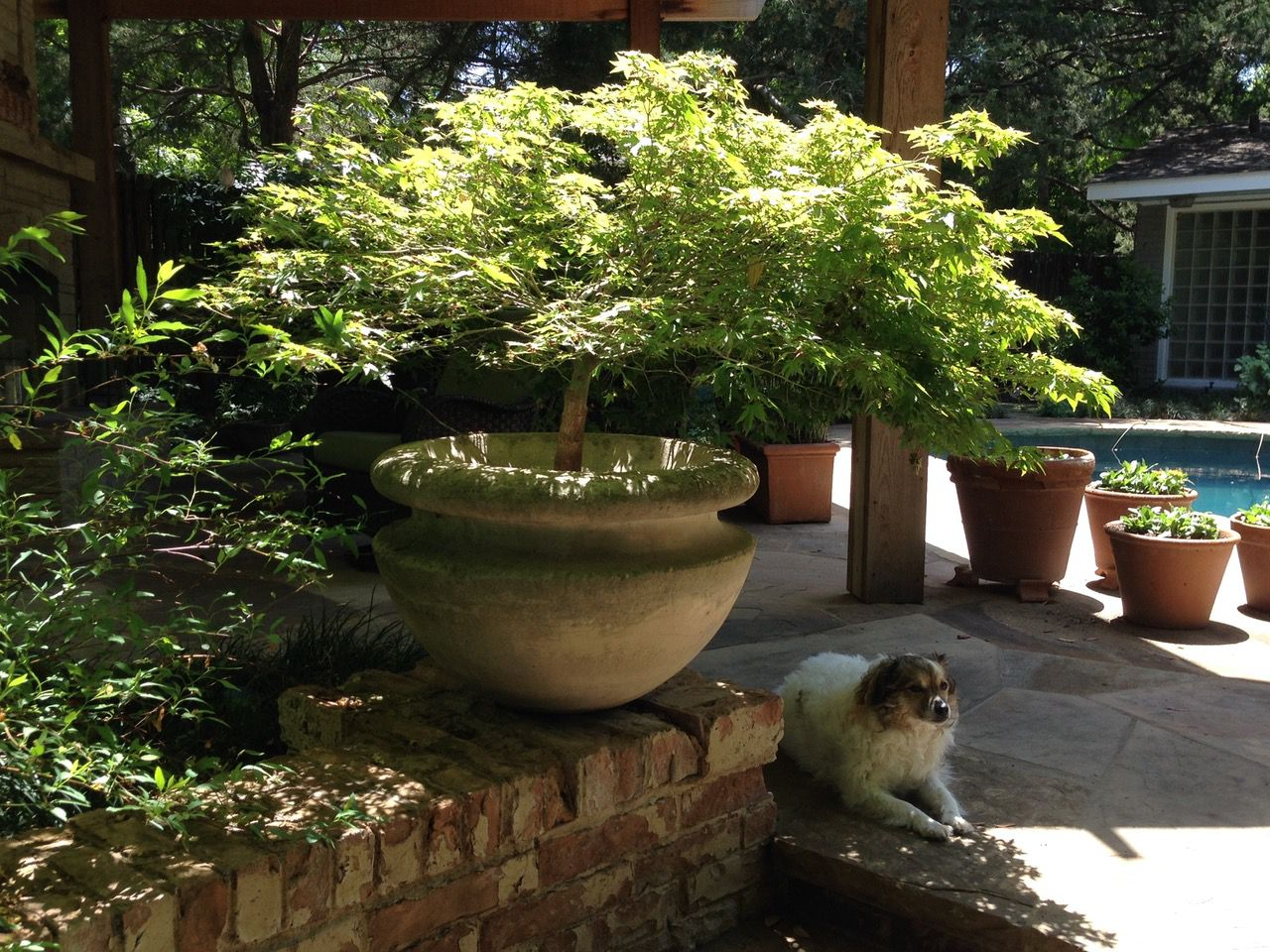 Japanese maples are excellent trees in general, but the 'Murasaki kiyohime' variety is among the best of the bunch.