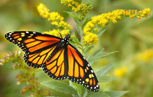 A monarch butterfly feeds on a goldenrod flower.