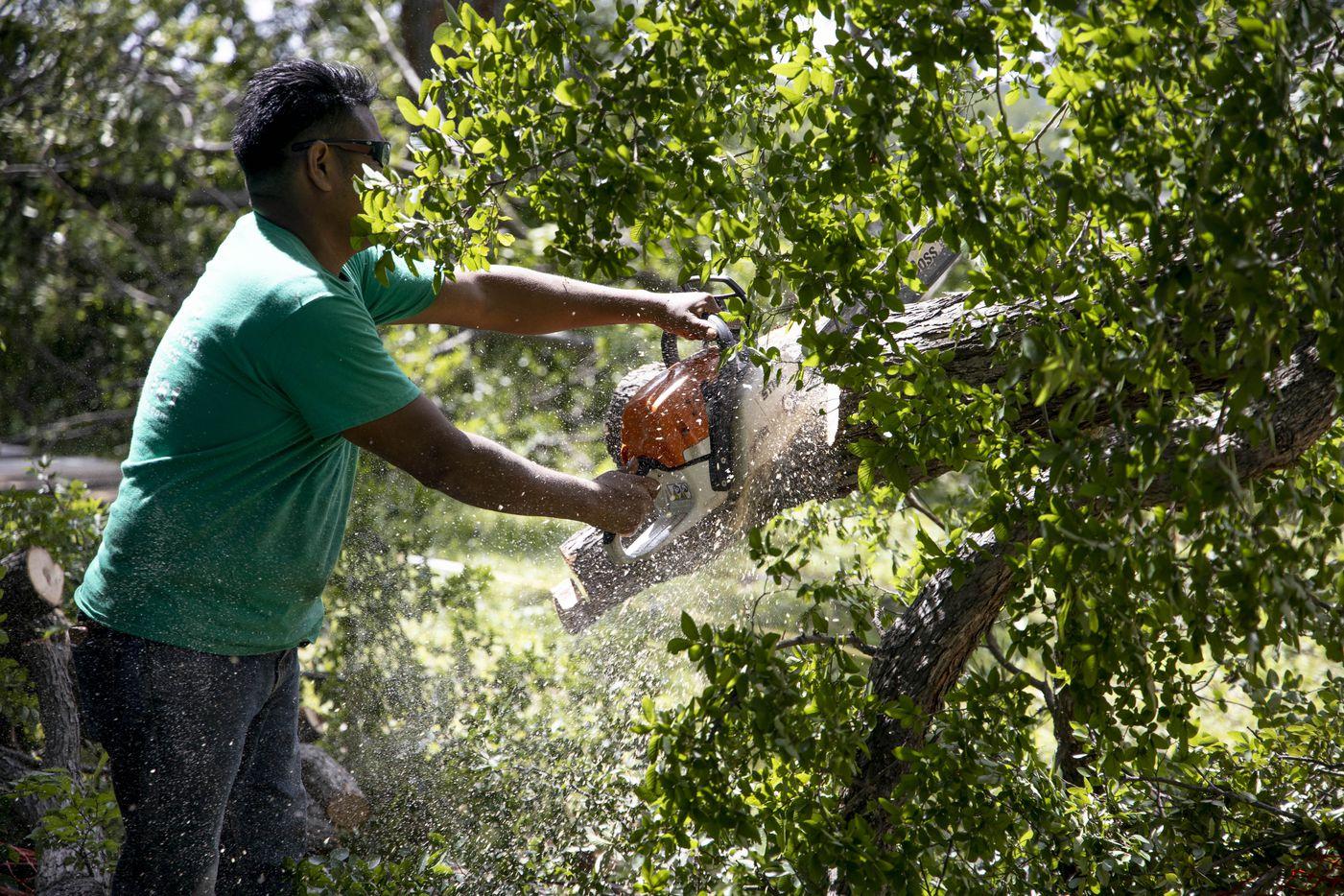 Bryan Benavides cuts down a tree in a yard near White Rock Lake.