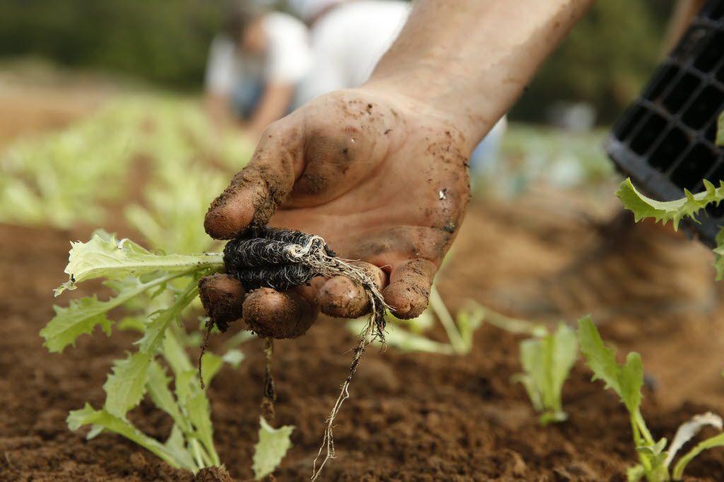 Curly endive is planted at Johnson's Backyard Garden Organic CSA Farm in Denton.