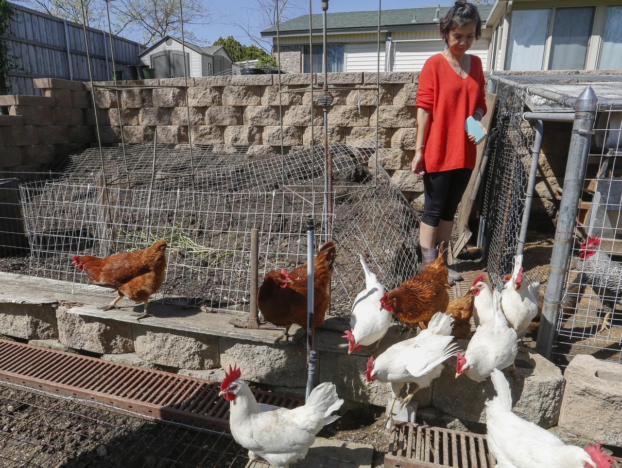 Helen Ming, residente de Irving, deja a sus gallinas salir de su gallinero. Irving aprobó una ordenanza sobre la posesión gallinas en abril de 2019 después de posponer su debate tres veces. (RON BASELICE/DMN)