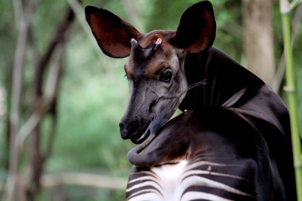 Niko, one of the okapi at the Dallas Zoo, is seen in a photo from October 2013.
