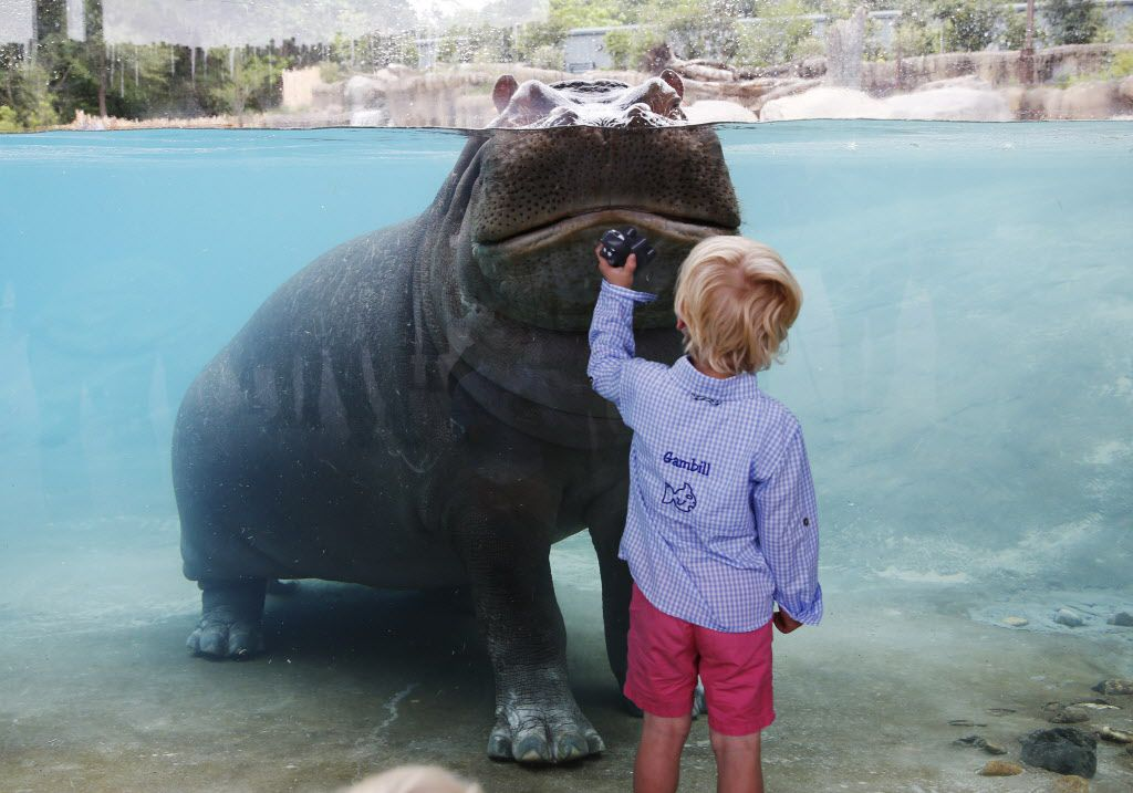 Gambill Whitsitt, 3, gets a good look at Adhama during the grand opening of the Dallas Zoo's hippo exhibit in Dallas on Friday, April 28, 2017. Adhama (male) and Boipelo (female) are the two hippos in the exhibit.