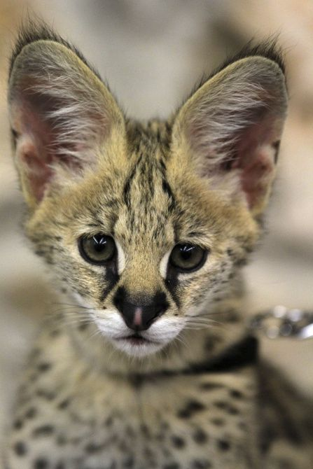 A serval featured at the Wild Encounters Stage at the Dallas Zoo.