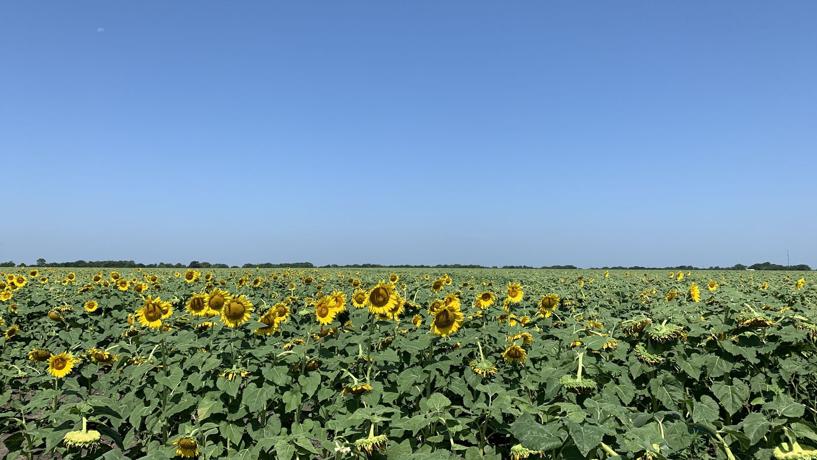 Fields of sunflowers stretch toward the sky in Whitewright, about an hour's drive from Frisco.