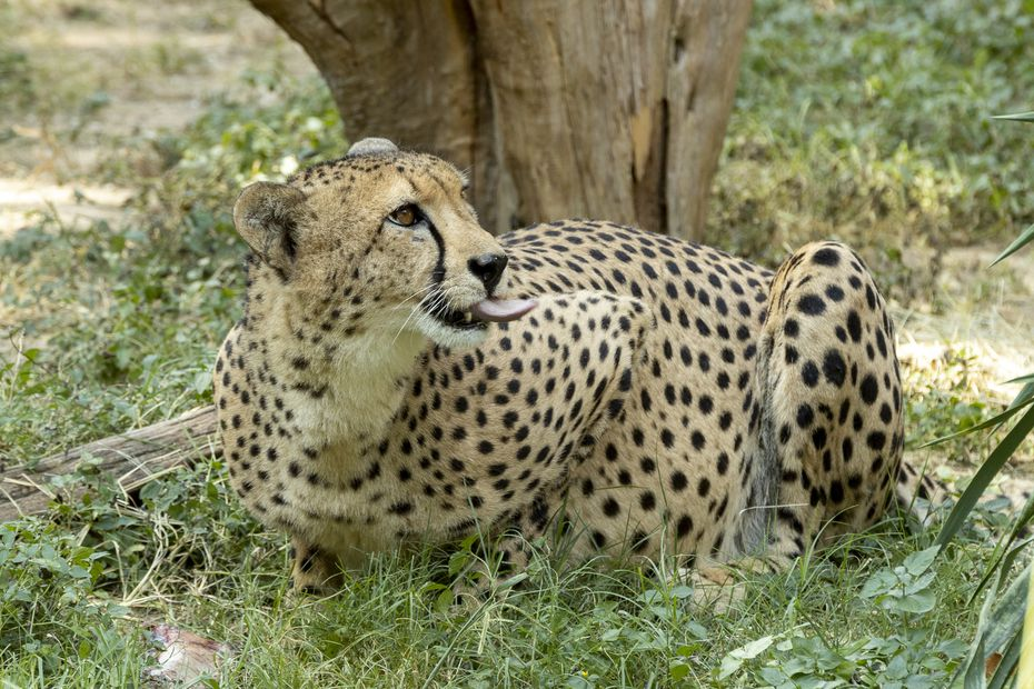 The Dallas Zoo is involved in an array of conservation programs aimed at saving cheetahs and many other species in Africa, Asia and the U.S.