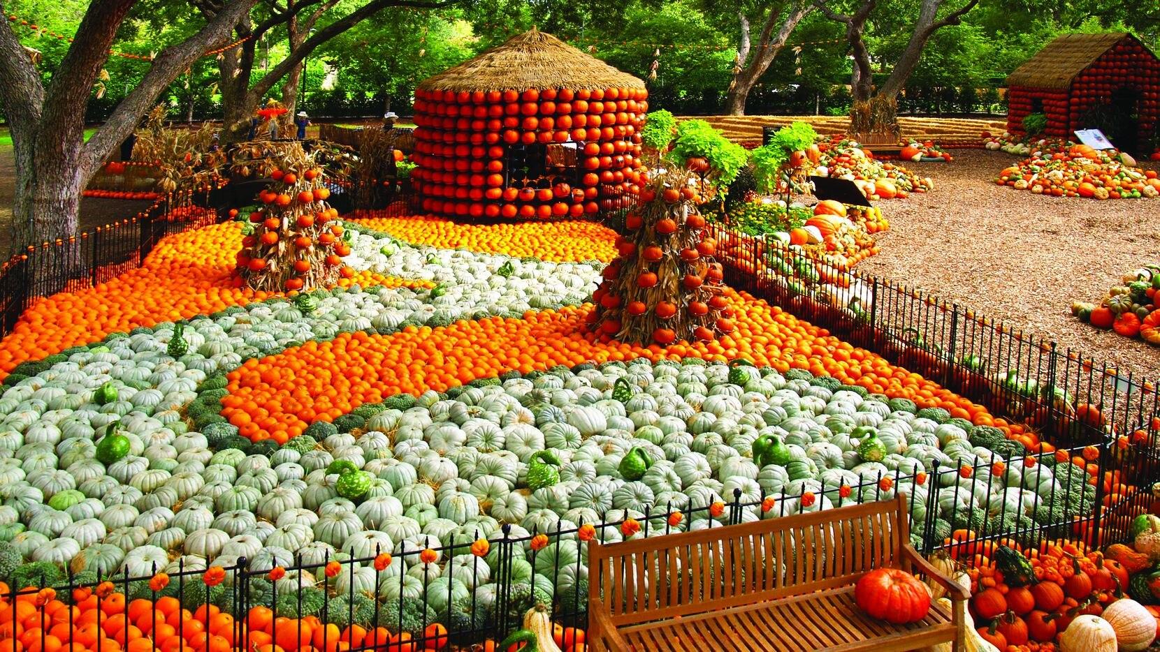 """Más de 90,000 calabazas adornarán el Dallas Arboretum este año para su festival de otoño """"The art of the pumpkin"""". La exhibición es del 19 de septiembre hasta el 1 noviembre."""