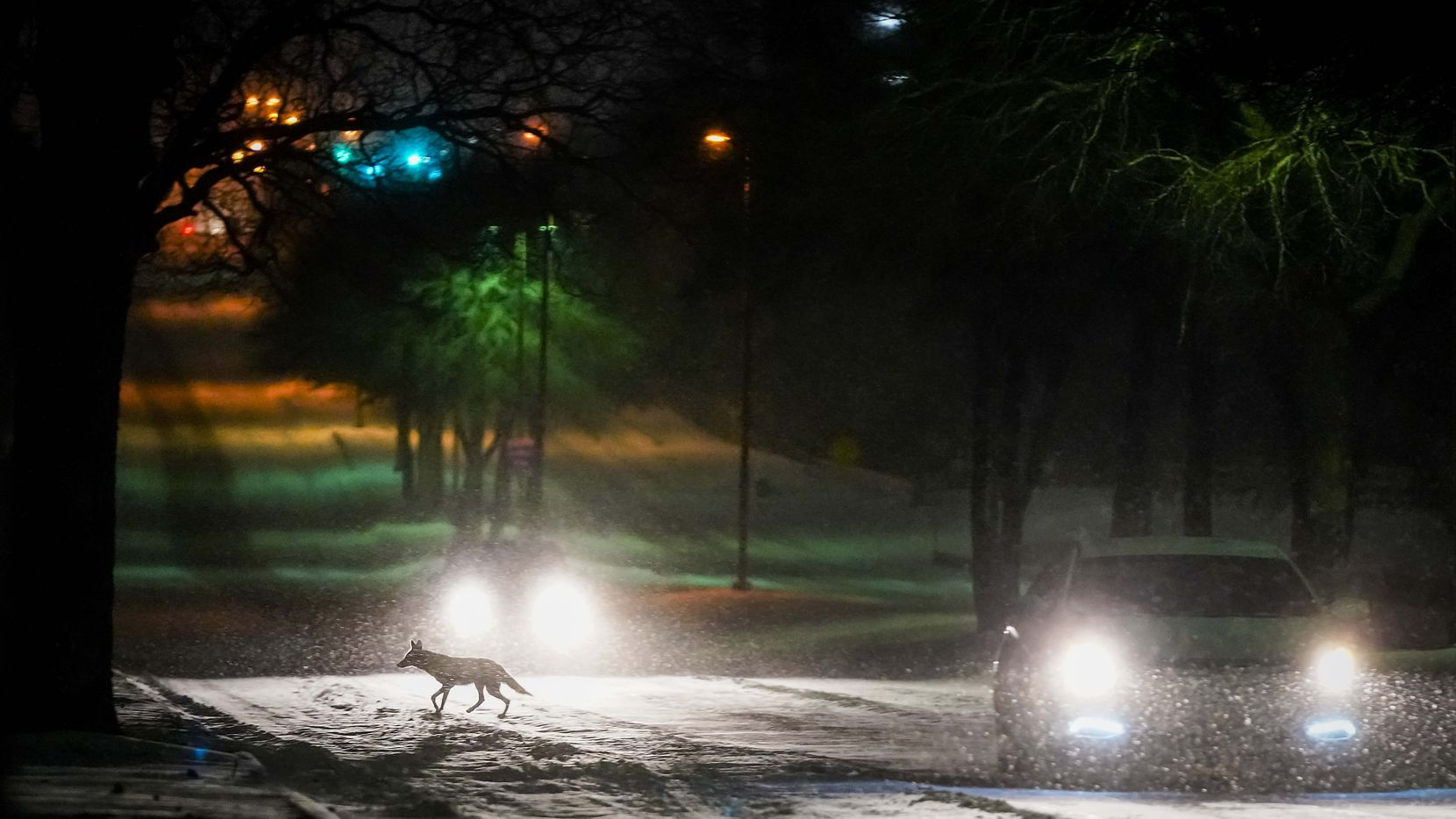 A fox or small coyote crosses Plano Road between cars moving through the Spring Creek Nature Area as a second winter storm brought more snow and continued freezing temperatures to North Texas on Tuesday night, Feb. 16, 2021, in Richardson, Texas. (Smiley N. Pool/The Dallas Morning News)