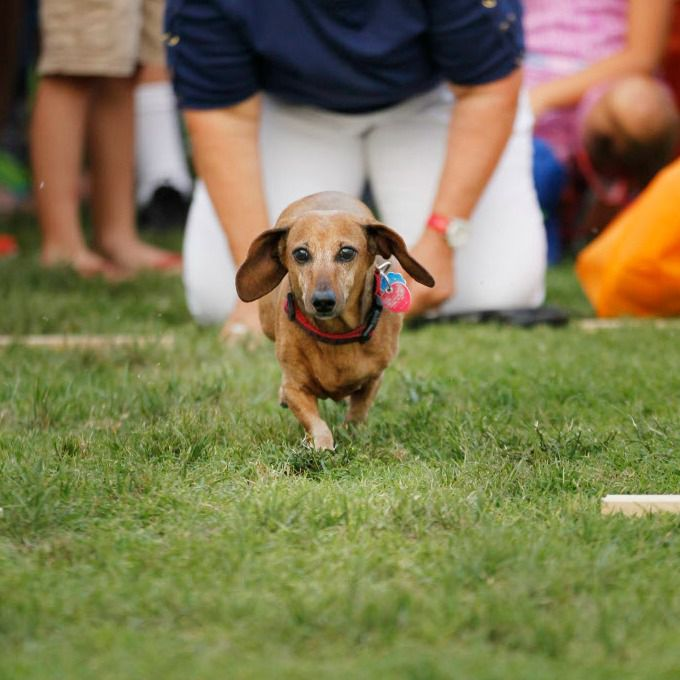 Quincy runs during the Dachshund Races at Frisco Freedom Fest.