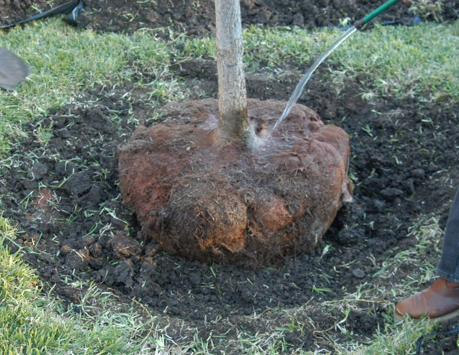 Planting holes should be wide, rough-sided and slightly shallower than the height of the root ball.