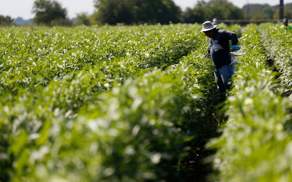 Mario Hernandez works on picking okra from the field at the Reeves Family Farm