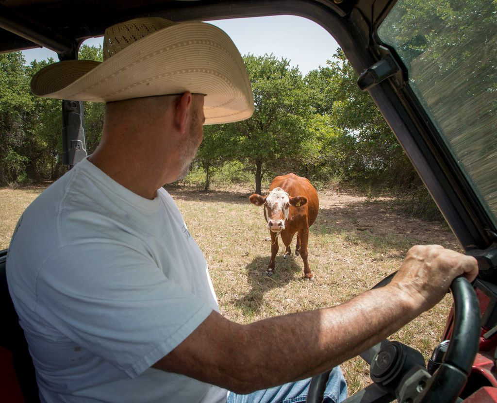 Mike Newton, known as the Cowboy Chef, checks on his cows on his ranch in Lipan, Texas on July 17, 2018. (Robert W. Hart/Special Contributor)