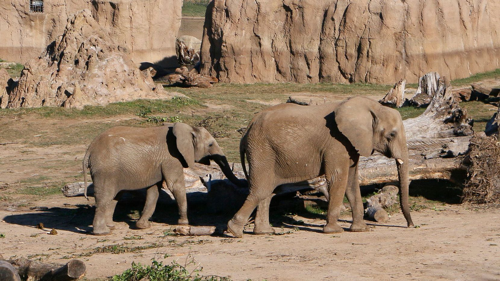 Nowalzi and her daughter, Amahle, roamed the Giants of the Savanna habitat at the Dallas Zoo. The two elephants were moved to the Fresno Chaffee Zoo in California.