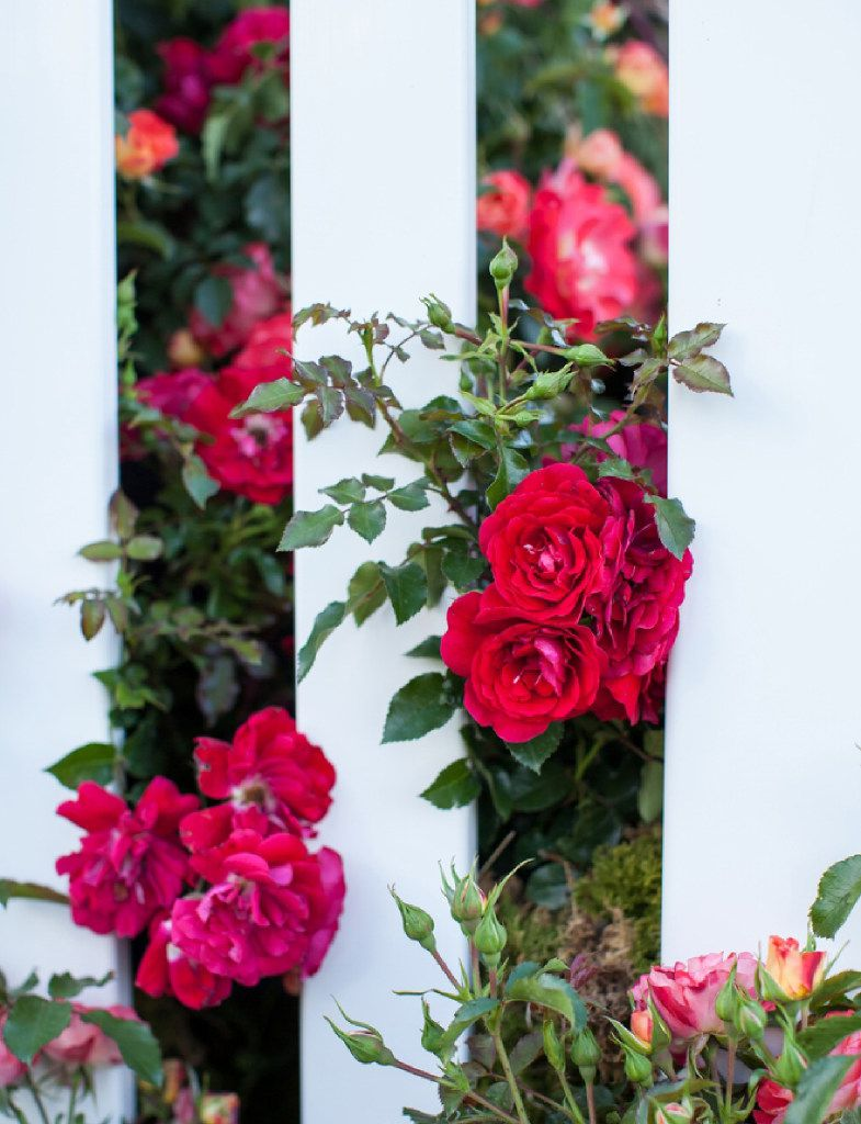 Paint The Town rose, Easy Elegance Roses