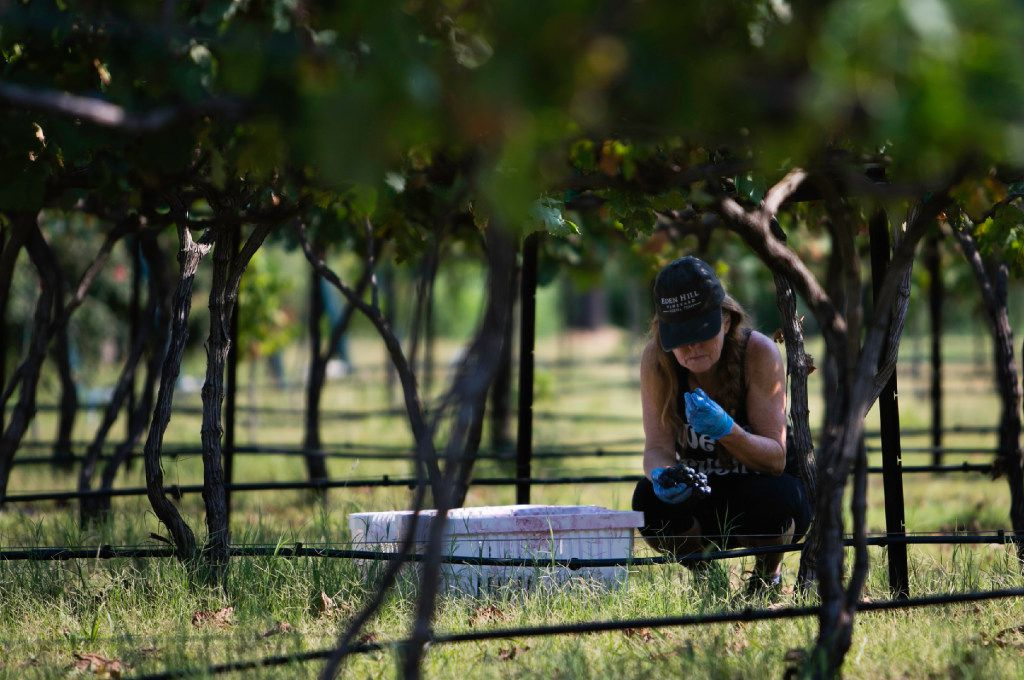 Chari Richter inspects a grape before popping into her mouth at the Eden Hill Vineyards in Celina.