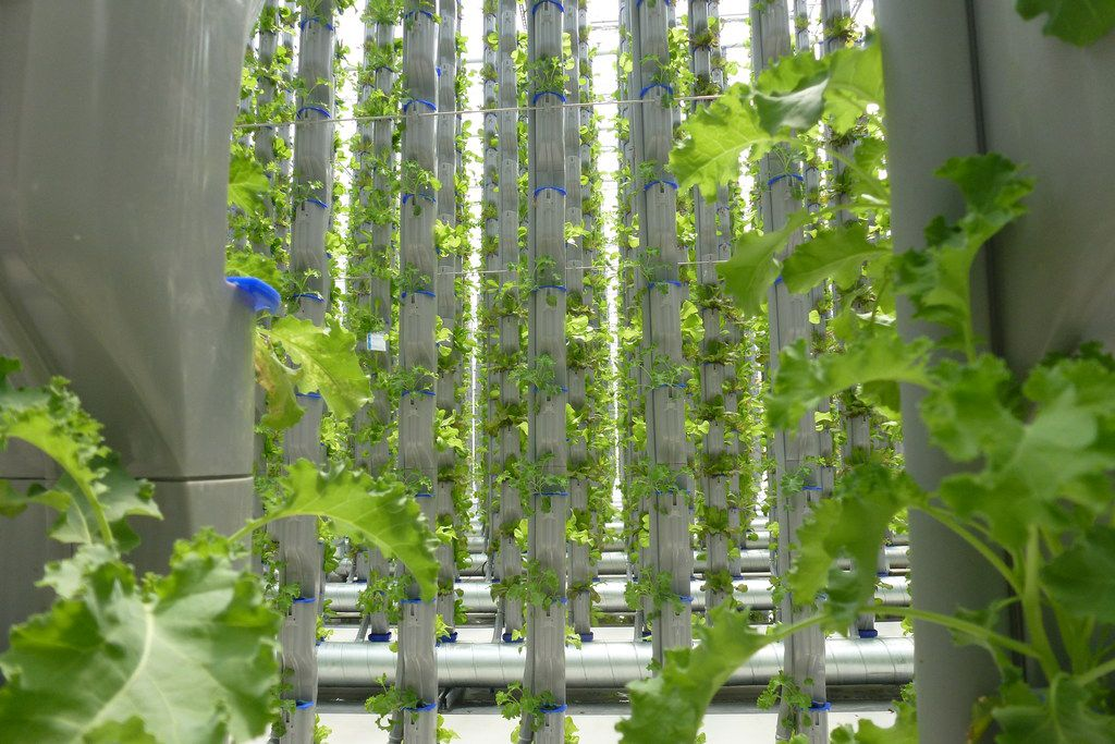 A view across the towers at Eden Green, which stand 18 feet tall, as kale grows.