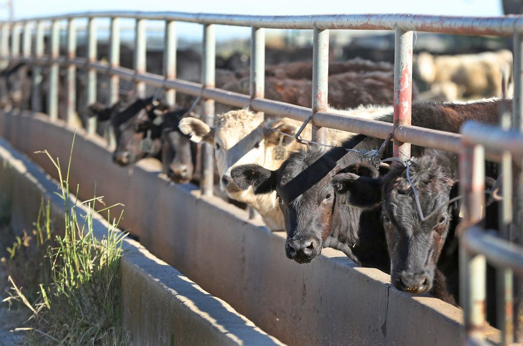 Cows peer out from a pipe fence at the A Bar N Ranch in Sherman.