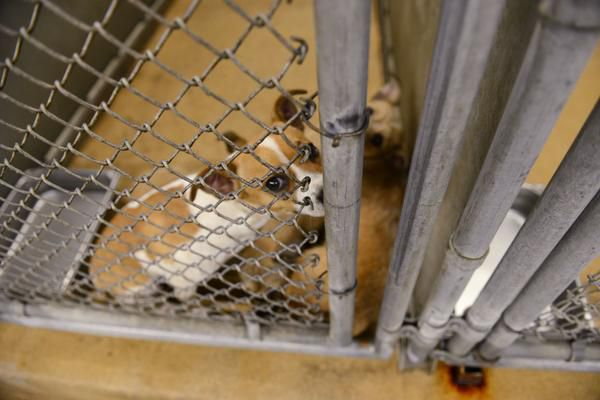 Animal services authorities and the Garland Police Department hope to curb incidents of animal abuse in the city. In this file photo, dogs await adoption at Garland Animal Services.