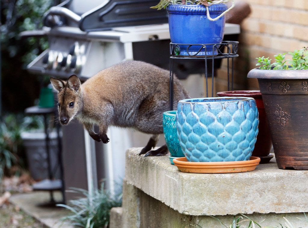 A wallaby roams in the front porch of a Dallas neighborhood on Wednesday.