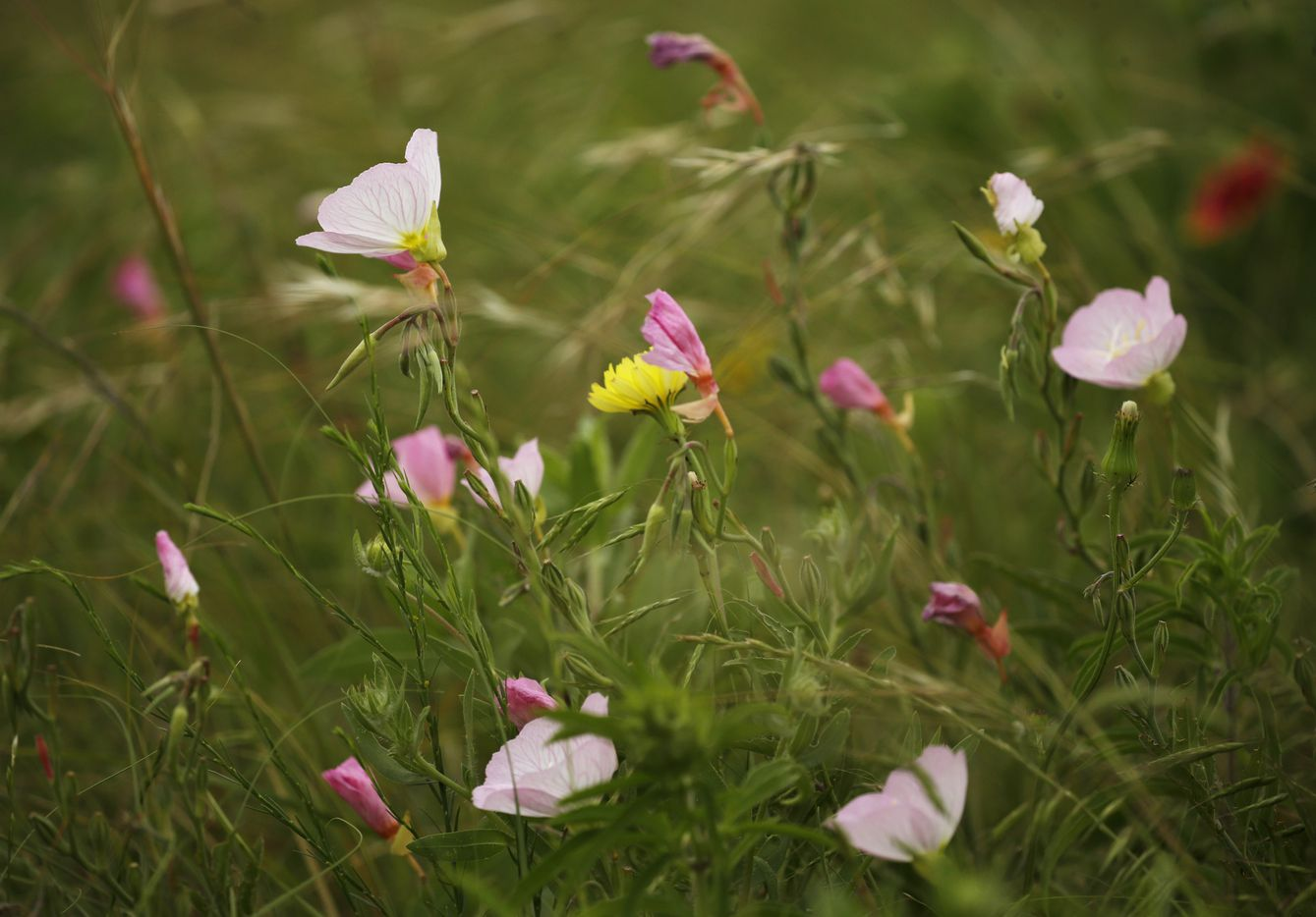 Wildflowers — evening primrose — are seen along the course on the East Course designed by Gil Hanse at PGA Frisco in Frisco, Texas, on Wednesday, May 20, 2020. The $520 million project is a mixed-use development that will be home to the PGA of America headquarters and two championship golf courses.