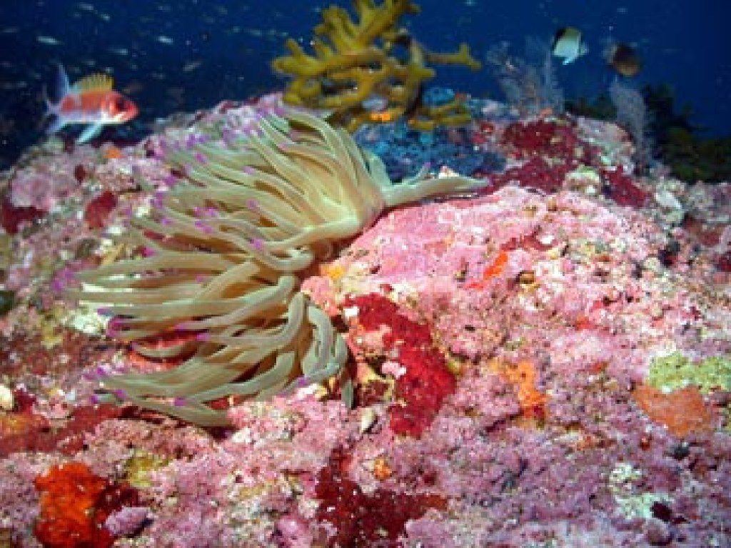 At the Flower Garden Banks, the giant anemone is found only in the deeper areas, not on the reef crest. In other areas of the Caribbean, this species is found in shallow areas. (National Oceanic and Atmospheric Administration)
