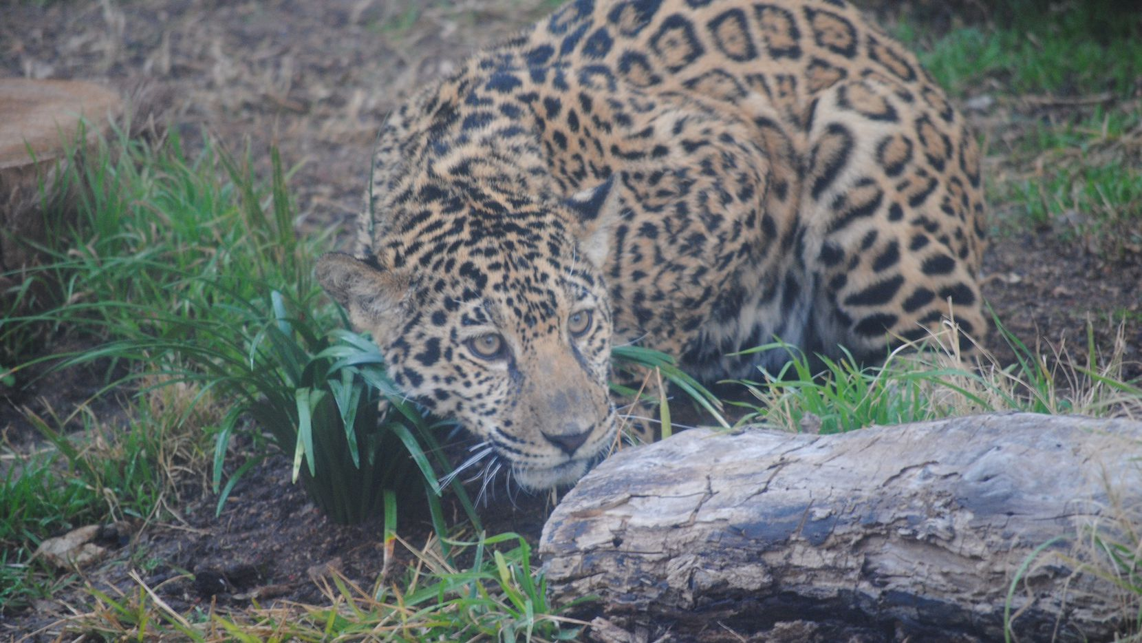 Estrella the jaguar at the Abilene Zoo. The jaguar escaped its enclosure Monday and attacked a spider monkey before it was tranquilized.