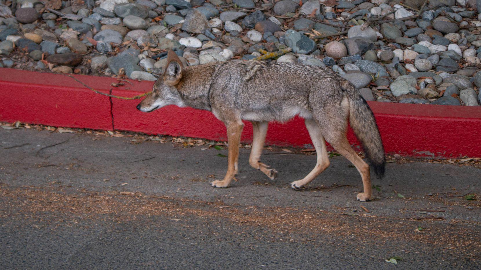 Habitantes de Frisco han reportado la presencia de coyotes cerca de viviendas o calles en esa ciudad.