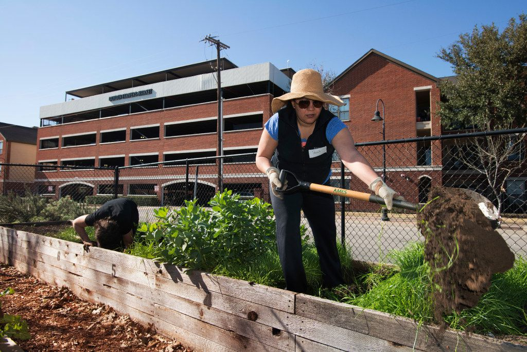 Deep Ellum community garden member Paula Dohanian uncovers a rotted crossmember in one of the garden's raised beds on Feb. 25, 2017 in the Deep Ellum neighborhood of Dallas, Texas.