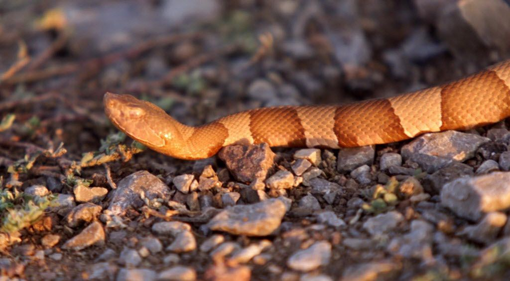 Copperheads are skilled at camouflaging themselves and hide in rocky areas and brush or between dead leaves or fallen logs.