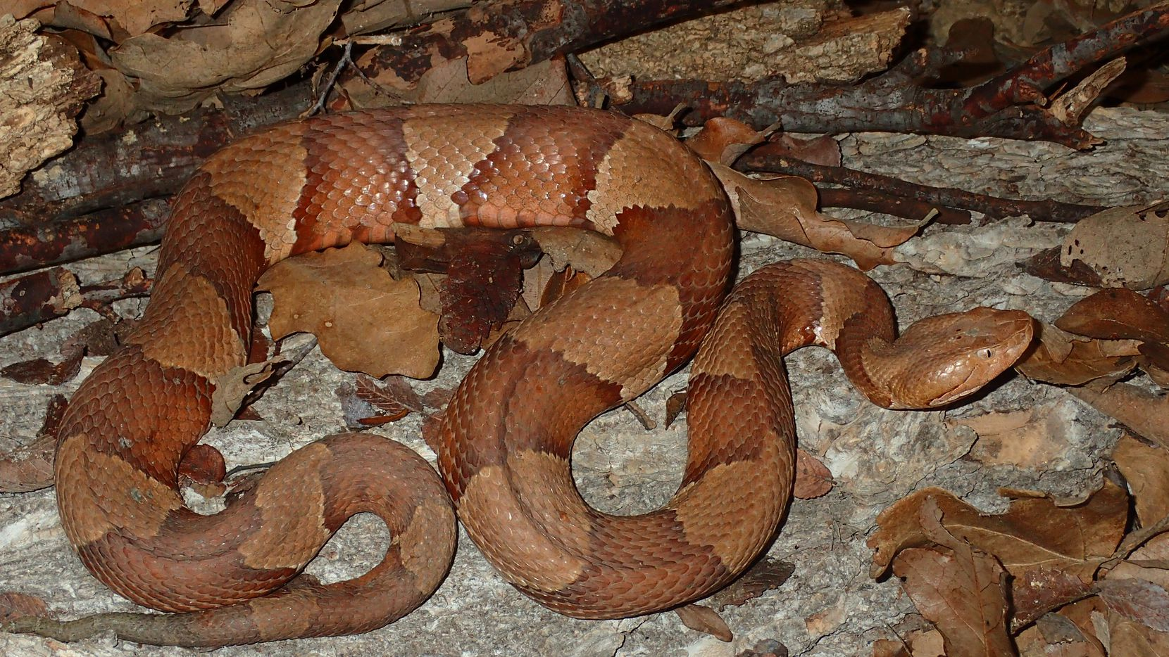 Snakes of Texas: Copperheads, with their flashy banded pattern and tawny coloring, may be among the most easily identifiable snakes in Texas.  They re common in North Texas, particularly along streams and rivers. They generally grow to about 2 to 3 feet long. In Dallas County, the broad-banded copperheads are more common in the western areas and the lighter-skinned, southern copperheads are more common in the eastern sections. Photo: Carl J. Franklin, biological curator of the Amphibian and Reptile Diversity Research Center at UT Arlington.