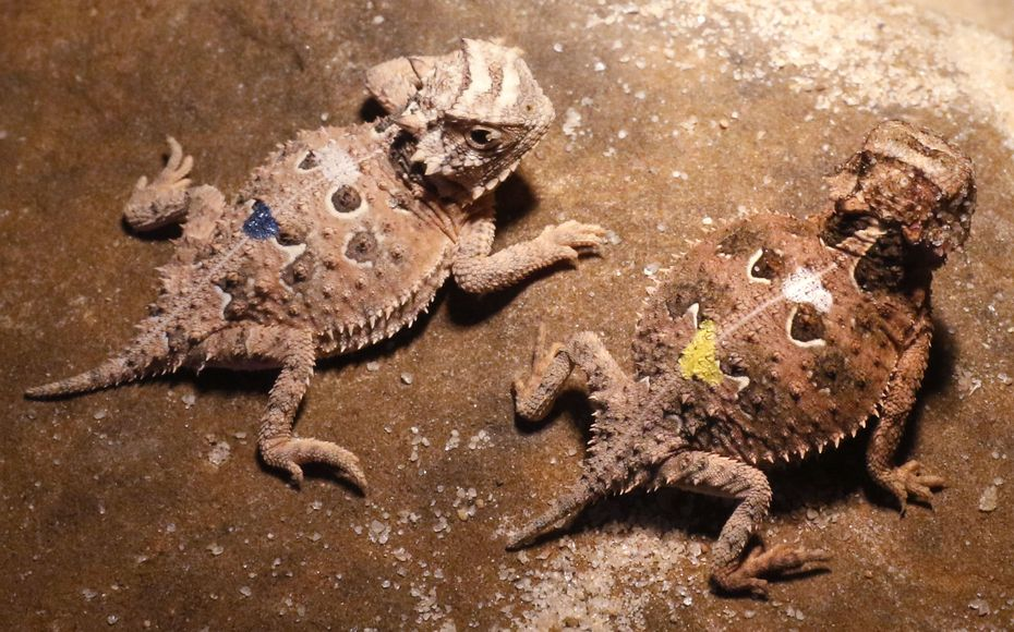 These Texas Horned Lizards were hatched on July 20, 2017. The babies keep warm under heat lamps and eat fruit flies as part of their insectivore diet. Once the lizards get bigger, they move to a diet of harvester ants.