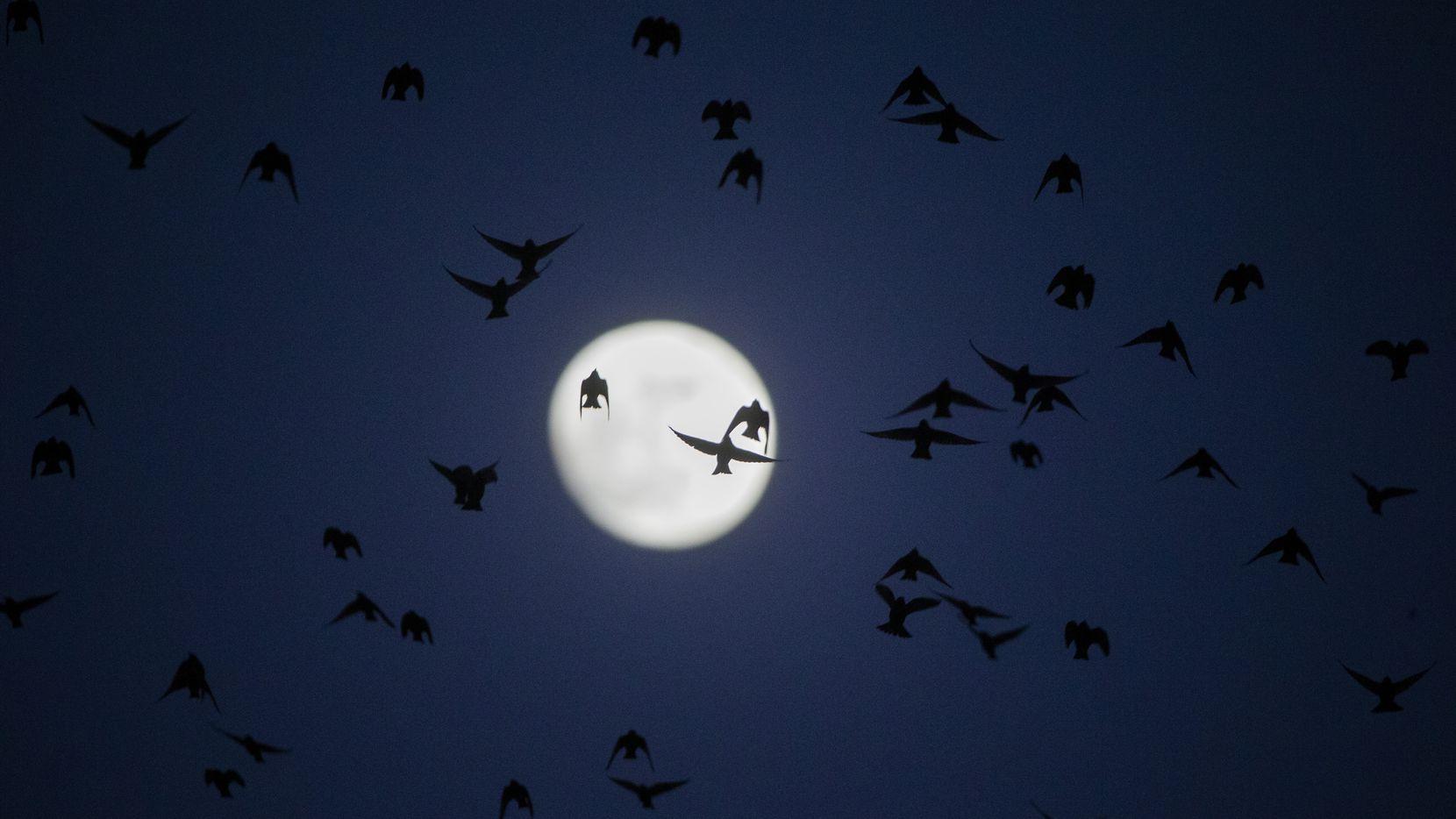 A flock of birds flies over Dallas as a new moon rises.