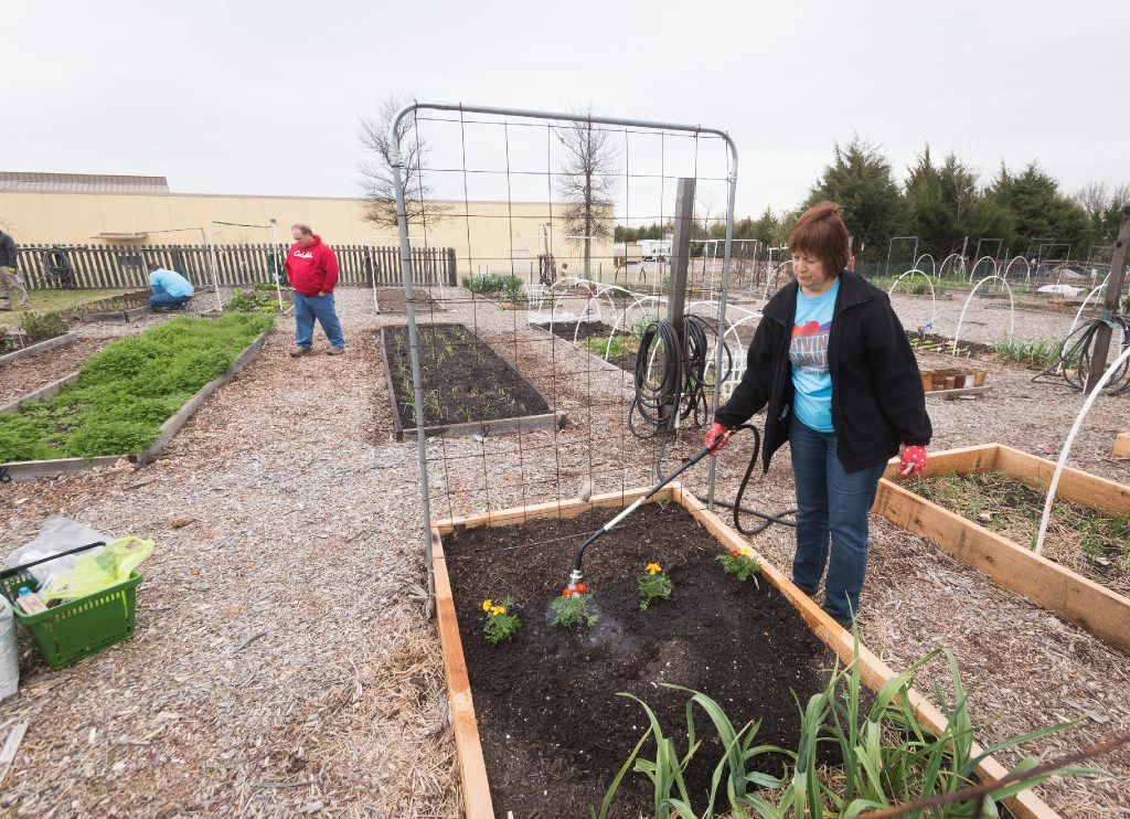 Laura Margadonna waters marigolds at The Giving Garden of Carrollton on Saturday, March 3, 2017.  The organization that operates the garden donates the food to needy families.   (Rex C. Curry/Special Contributor)