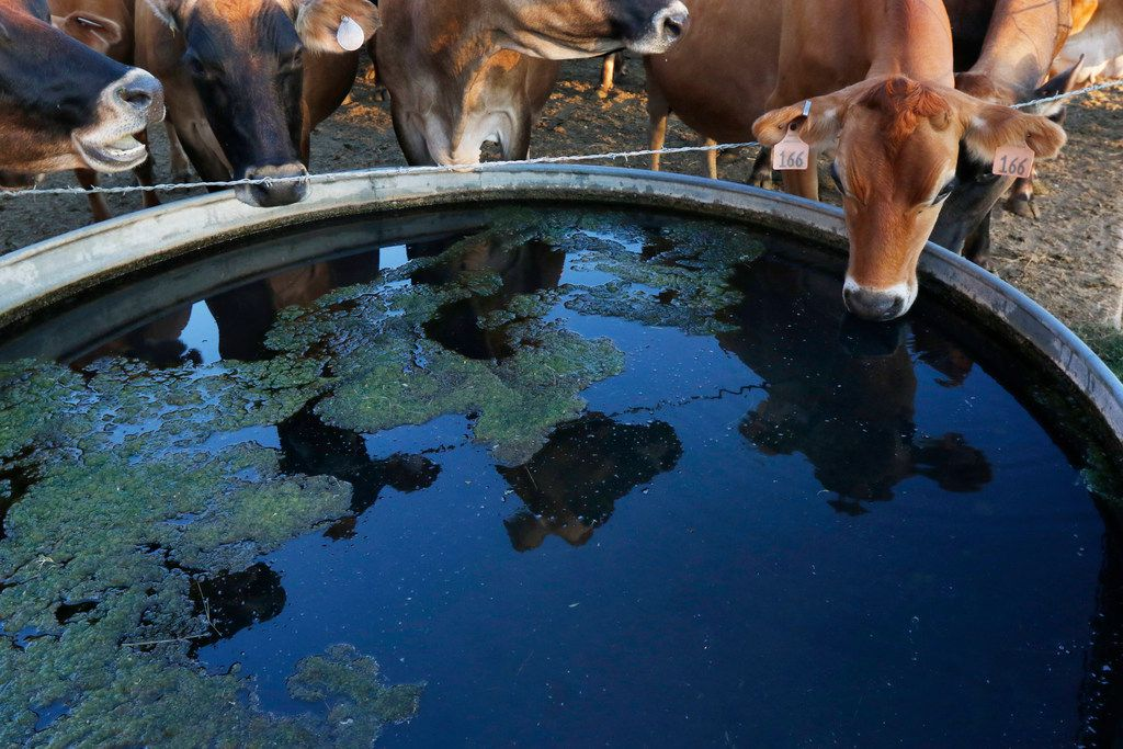 Cows drink water from a trough at K-Bar Dairy in Paradise.