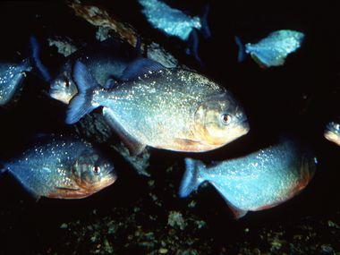 Piranhas are pictured in this file photo from the Dallas Aquarium at Fair Park.