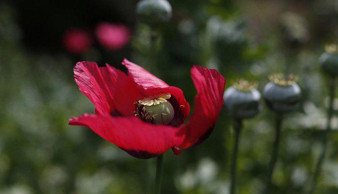 Una flor de amapola crece en las montañas de Guerrero, un estado donde el creciente comercio de opio se ha convertido en una nueva máquina de hacer dinero para los cárteles mexicanos. (AP/DARÍO LÓPEZ MILLS)