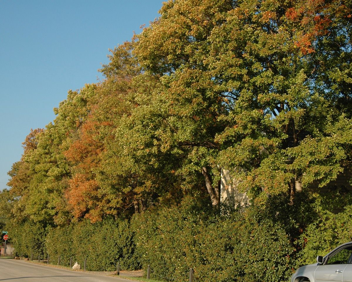 Trident maples are intentionally planted close together to create a forestlike effect.