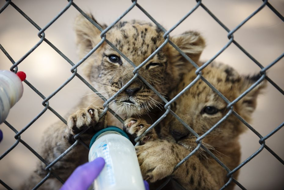 Senior zoologists feed a special lion cub formula to the new six-week-old lion cubs at the Dallas Zoo, on Tuesday, Sept. 29, 2020. Ben Torres/Special Contributor