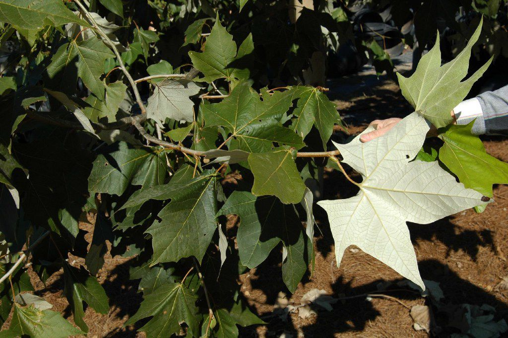 The underside of the leaves on the Mexican sycamore tree are white and silvery.