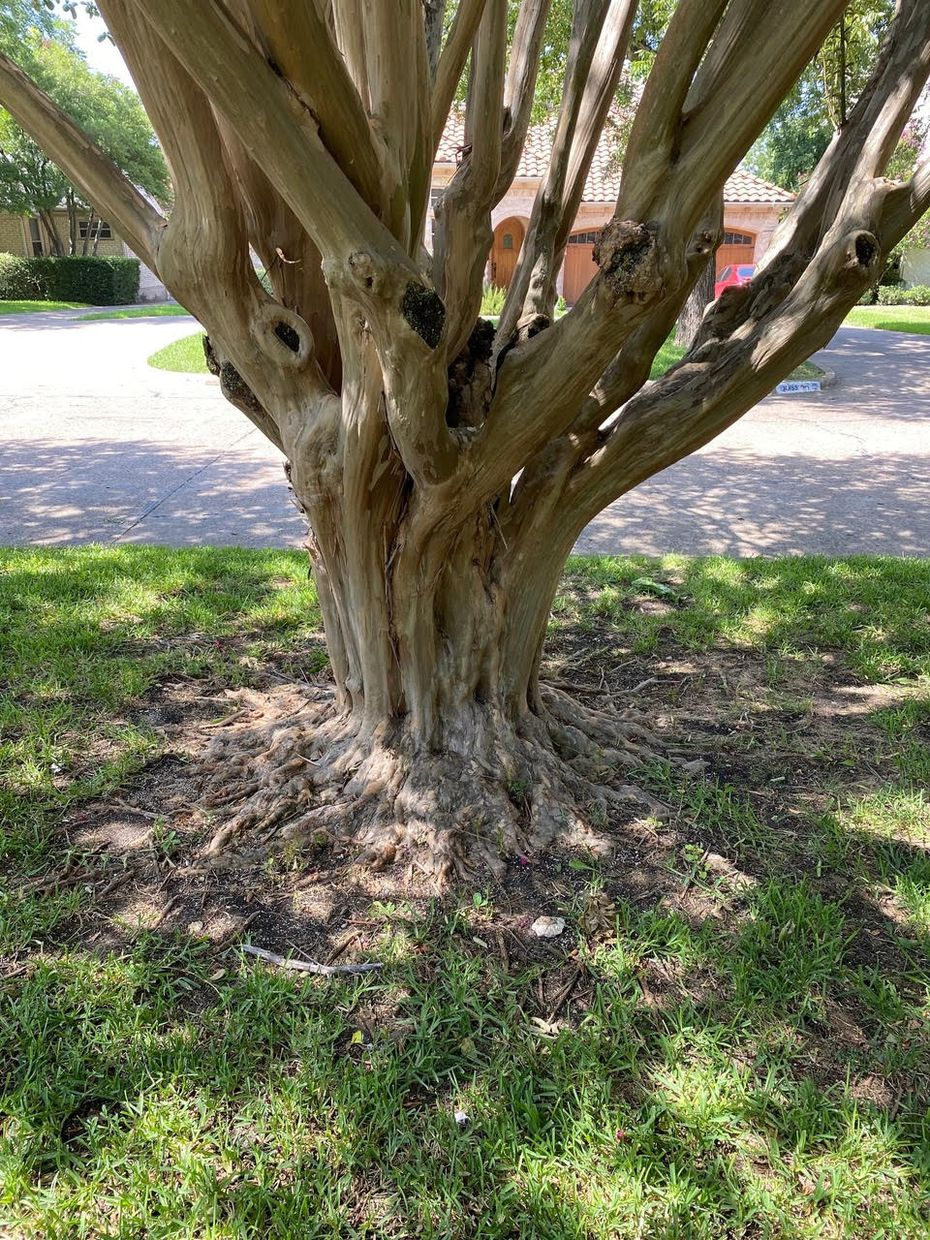 Leaving a crape myrtle's root flare dramatically exposed will reduce stress in trees and eliminate most pest problems. Easily seen flares also make the trees more attractive.